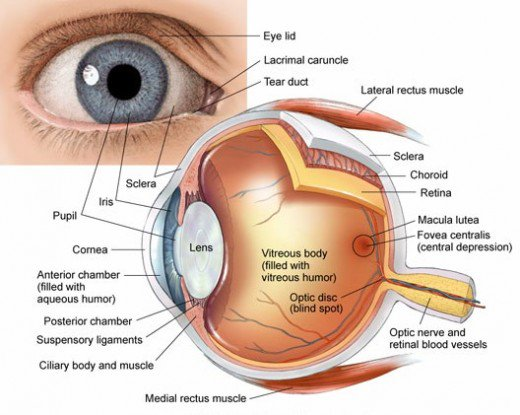 Human Eye Anatomy, parts and structure - Online Biology Notes