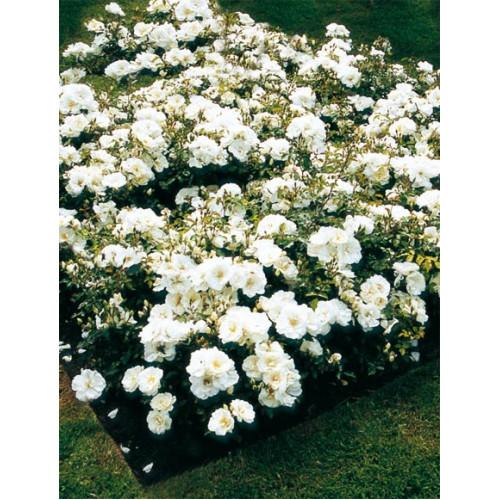 Flower Carpet Rose White For Sale Online Plants Australia