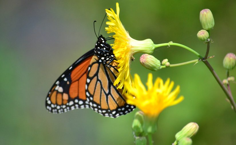 Microsoft Wallpaper Fall Monarch Butterflies Parks Blog