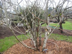 Beauteous Here Is A Fig Tree That She Showed Us How To Fruit Tree Prunning On Banks Salt Creek How To Prune A Fig Tree New Zealand How To Prune A Fig Tree Youtube