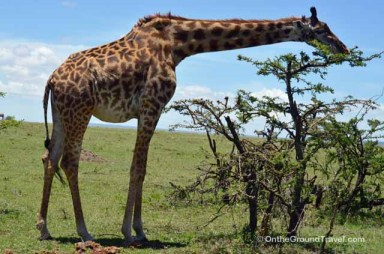 African Safari Giraffe in Kenya