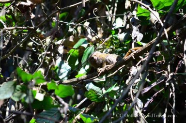 Mammoset Monkey in the Amazon jungle from trips around the world