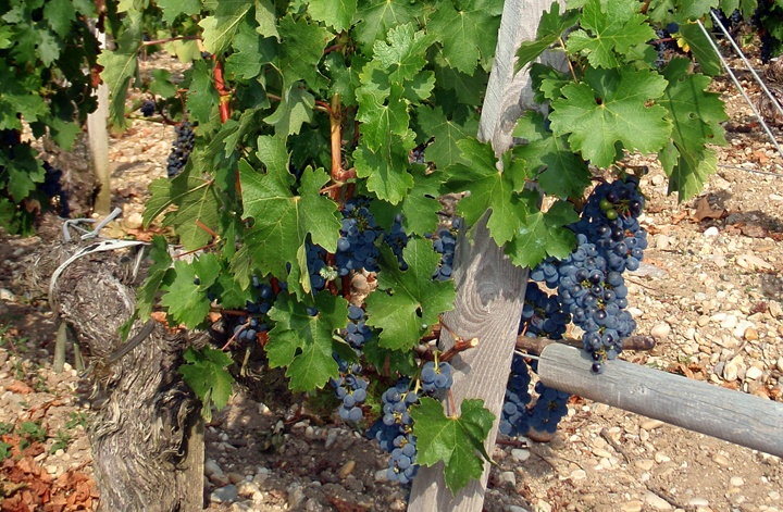 Grapes on the vine in Bordeaux