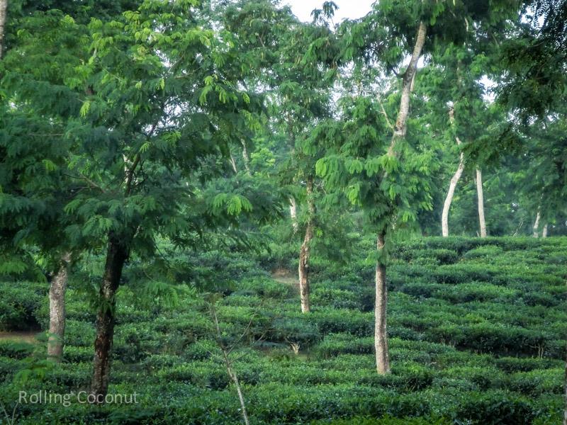 Bangladesh Srimangal Tea Plantations ooaworld Rolling Coconut Photo Ooaworld