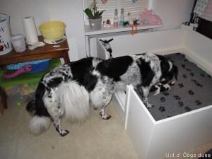 omaNurja komt even in de kist bij de pups kijken