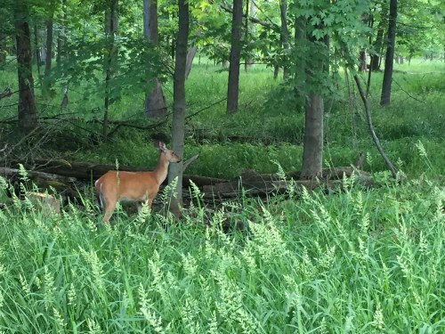 Deer at Maumee Bay State Park