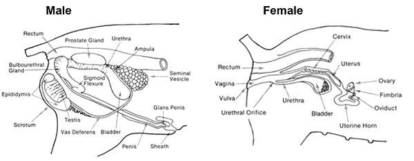 male reproductive system fetal pig diagram