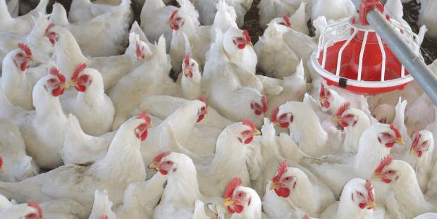 Foto: Eduauthor. México es el destino principal de las exportaciones de pollo de Estados Unidos, las cuales se han incrementado de 204,100 toneladas en 2008 a un aproximado de 480,500 toneladas en 2015.