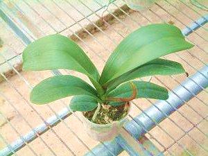 orchideen d ngen wann und wie mit welchem d nger d ngen. Black Bedroom Furniture Sets. Home Design Ideas