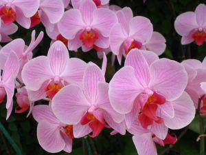 Rosa Phalaenopsis
