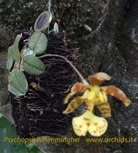 psychopsiella_-limminghei_c