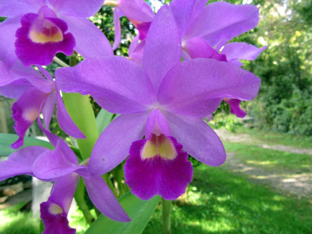 X Cattlianthe Portia 'Cannizaro' (ex Cattleya): una delle tante ibridazioni con genitore Guarianthe bowringiana