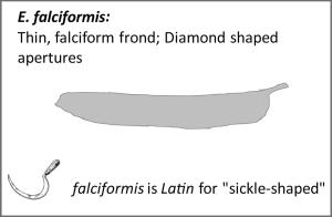 E. falciformis