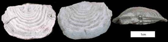 Leptaena_richmondensis_800px