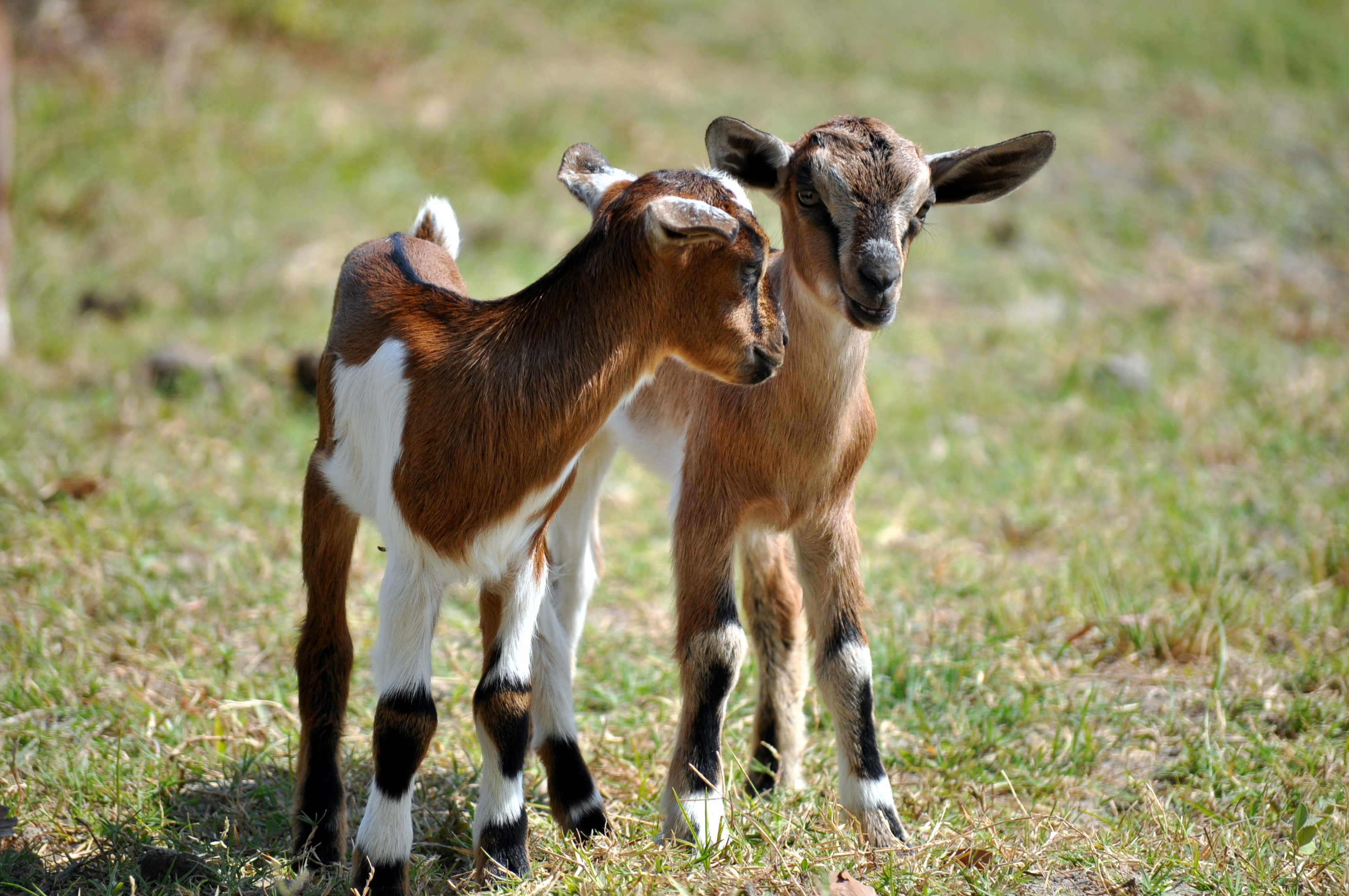 Cute Baby With Parents Wallpaper Goats Fed Gm Soybean Produce Abnormal Milk Reduces Weight