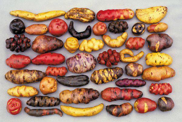 yo exigo comer organico, variedad de papas organicosas chile biodiversidad