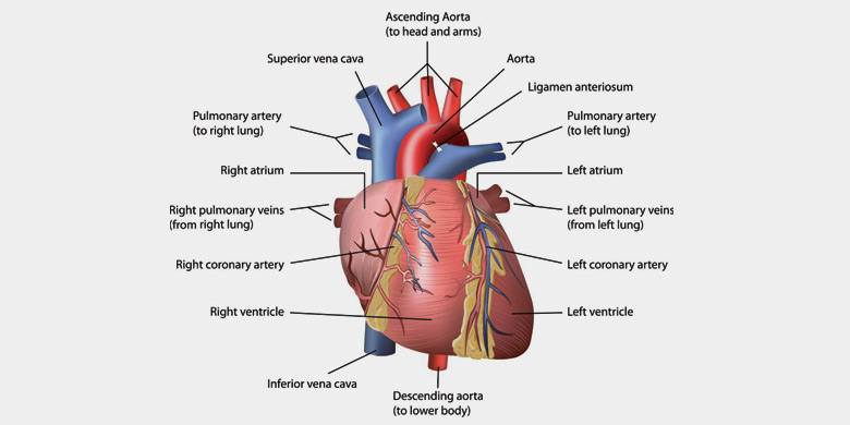 Heart Functions, Heart Diseases and Structure with Diagram