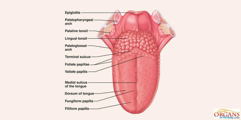 Human Tongue Parts, Functions with Details and Diagram