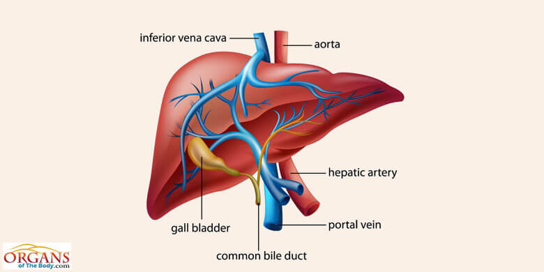 Human Liver Anatomy Function Location Parts Diseases