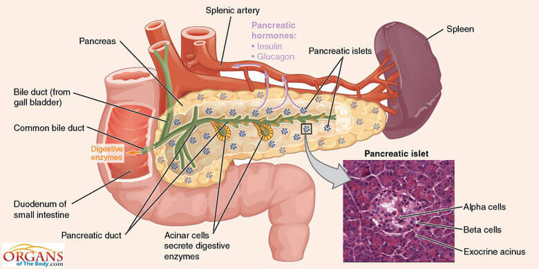 What is Pancreas? Location And Diseases of Pancreas - Organs Of The Body