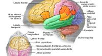 Se llama afasia al trastorno del lenguaje consecutivo a la lesión de zonas corticales cerebrales preferentemente destinadas a la elaboración de imágenes sensoriales o motrices en relación con la palabra. […]