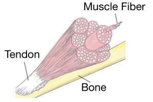 Soft-Tissue-Therapy-Physiology-Bone-Tendon-Muscle-Fiber-1024x768