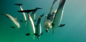 Swim with Dolphins in Bimini