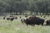 south dakota buffalo3