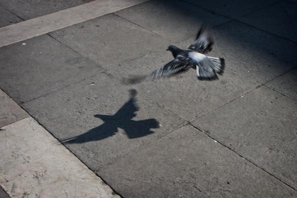 pigeon landing