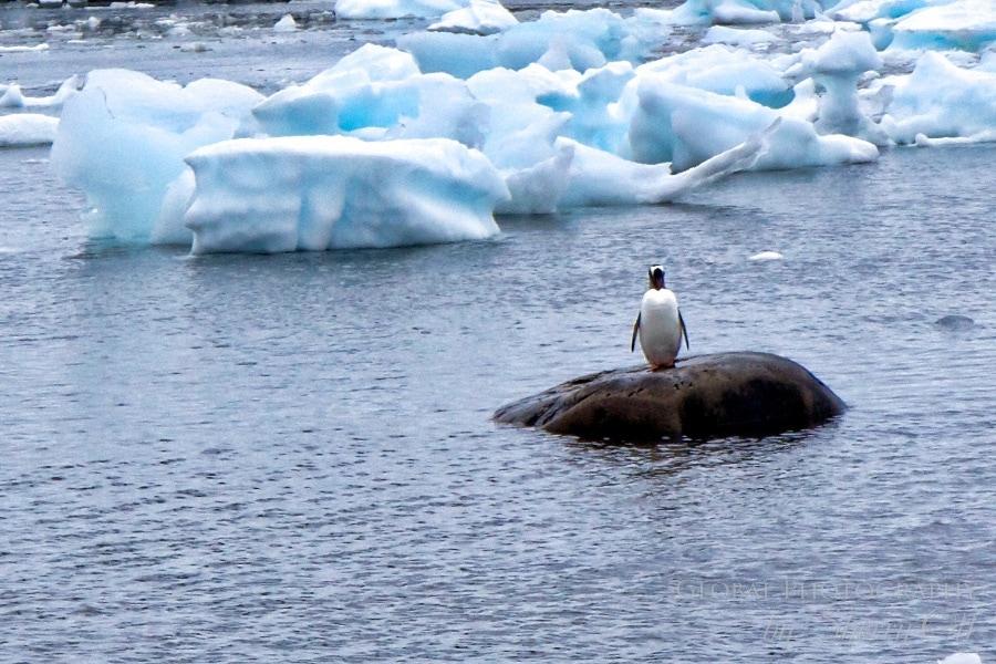 Solo penguin
