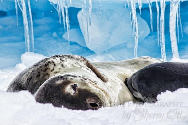 A leopard seal nurses a new baby pup