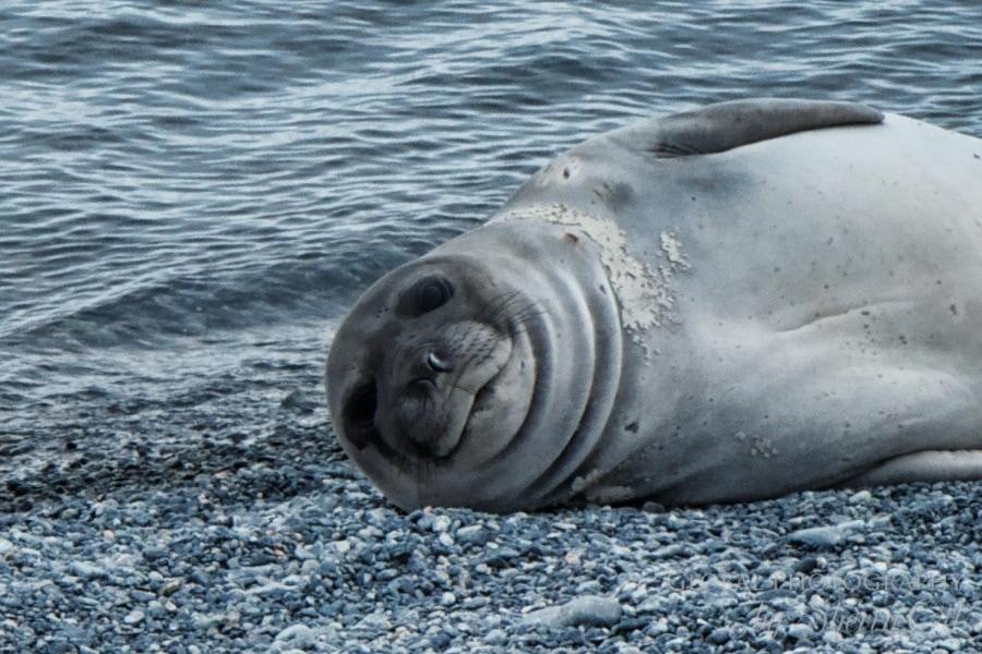 A sleepy baby elephant seal checks us out