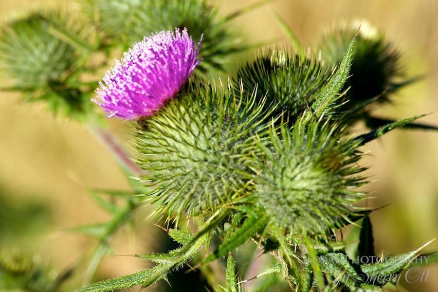 patagonia flower