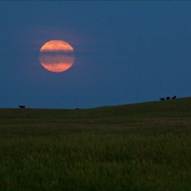 Supermoon cows