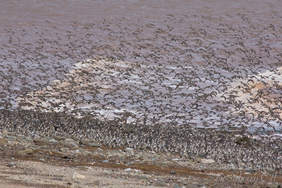 Bay of Fundy Bird Migration