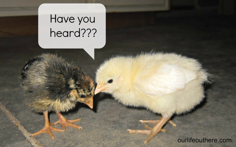 Chicks gossiping