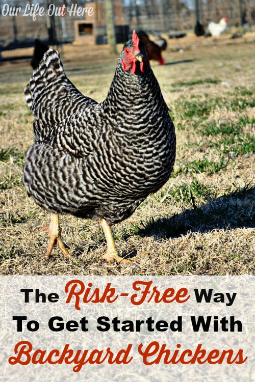 Have you always wanted backyard chickens, but didn't know how to start. Find out how you can get started with backyard chickens risk-free. #chickens #naturalliving