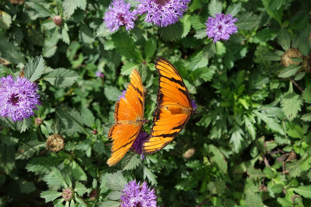 butterflymating