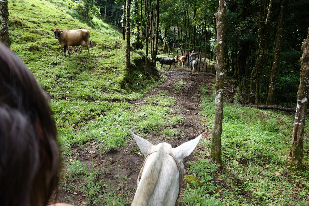 Riding through very lush primary and secondary forests next to happy diary cows.