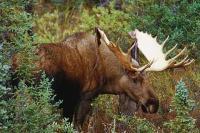 Image For Manitoba Moose Hunting Images Moose Hunting Manitoba