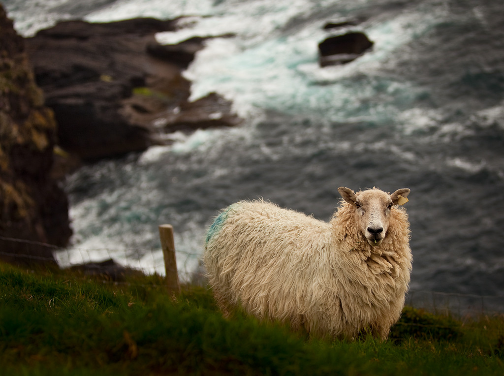 Large Aperture example - using f/2.8 to focus on a sheep and have the background blurred slightly