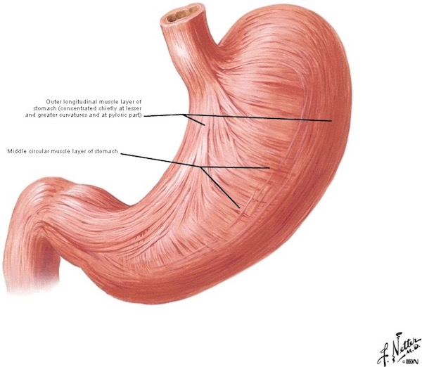 stomach \u2013 Outlander Anatomy