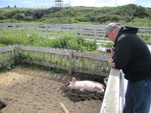 Willie The Pig At The Viking Village