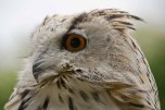 Owls & Raptors_20130915_6375