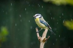 Blue Tit caught out in a hail shower
