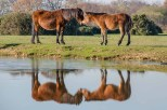 New Forest Pony and foal reflected in the still water of Janesmoor Pond Fritham