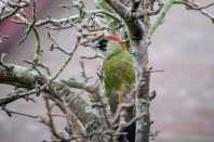 Green Woodpecker. First time I've seen one of these close to our garden. Usually common in deciduous woodlands with a preference for areas large clearings and rides. Can also be found in more open land with scattered trees and groves. This one turned over the leaves on the ground before look for food in the tree and kindly stayed long enough for a few shots.