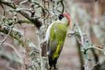 A Green Woodpecker making a first visit (that I know of) to a nearby garden