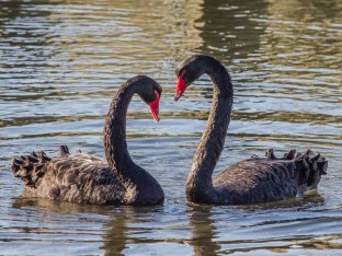 Black Swans coming together to form a heart
