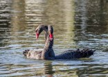 Black swans in a courtship ritual